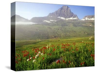 Indian Paintbrush in the Fog at Logan Pass in Glacier National Park, Montana, USA