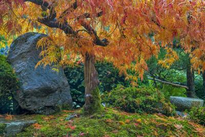 Japanese Maple Tree in Autumn, Japanese Gardens, Portland, Oregon by Chuck Haney