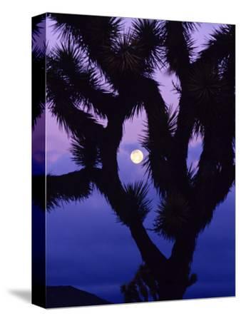 Joshua Tree with Moonset, Joshua Tree National Park, California, USA