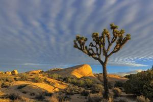 Joshua Trees in Sunset Light in Joshua Tree NP, California, USA by Chuck Haney