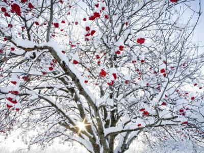 Mountain Ash Tree and Berries in Freshly Fallen Snow in Whitefish, Montana, USA