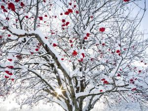 Mountain Ash Tree and Berries in Freshly Fallen Snow in Whitefish, Montana, USA by Chuck Haney