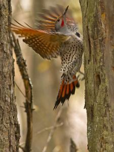 Northern Flicker Searching for Food in Old Tree Trunk in Whitefish, Montana, Usa by Chuck Haney
