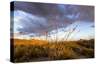 Ocotillo in Bloom at Sunrise in Big Bend National Park, Texas, Usa