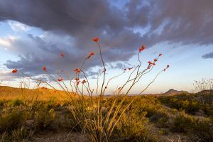 Ocotillo in Bloom at Sunrise in Big Bend National Park, Texas, Usa by Chuck Haney