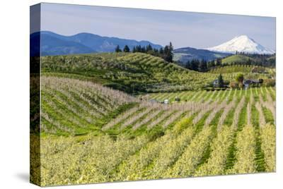 Pear Orchards Blooms with Mount Adams, Oregon, USA