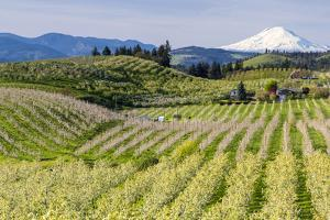 Pear Orchards Blooms with Mount Adams, Oregon, USA by Chuck Haney