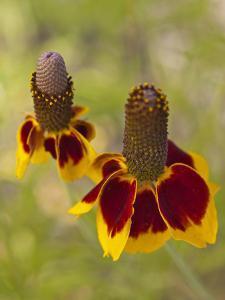 Prairie Coneflowers, Montana, USA by Chuck Haney