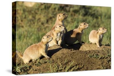 Prairie Dog Family in Theodore Roosevelt National Park, North Dakota, Usa