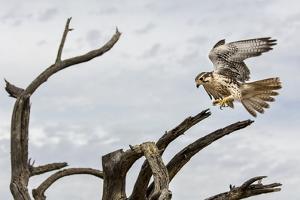 Prairie Falcon, Sonora Desert, Tucson, Arizona, Usa by Chuck Haney