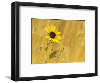 Prairie Sunflower at Palouse Falls State Park, Washington, USA