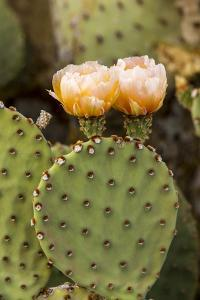 Prickly Pear Cactus in Bloom in Big Bend National Park, Texas, Usa by Chuck Haney