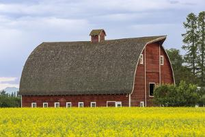 Red barn surrounded by canola in the Flathead Valley, Montana, USA by Chuck Haney
