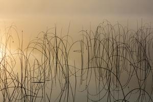 Reeds catch sunrise light on foggy morning on Spencer Lake, Whitefish, Montana, USA by Chuck Haney