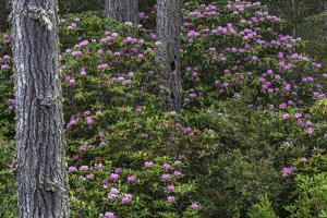 Rhododendrons Flowering in the Siuslaw NF Near Reedsport, Oregon, USA by Chuck Haney