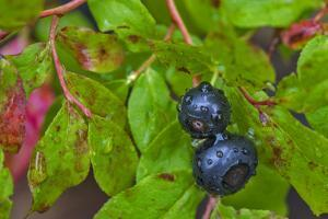 Ripe Huckleberries in a Light Rain Near Whitefish, Montana, USA by Chuck Haney