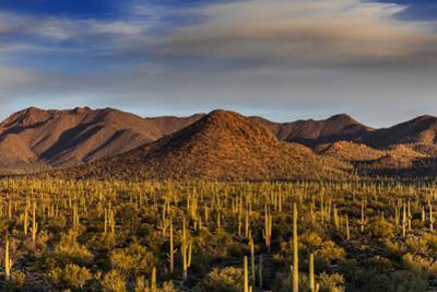 Saguaro Cactus Dominate the Landscape at Saguaro National Park in Tucson, Arizona, Usa by Chuck Haney