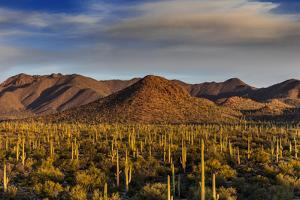 Saguaro Cactus Dominate the Landscape at Saguaro National Park in Tucson, Arizona, Usa by Chuck Haney