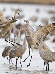 Sandhill Cranes Dancing on the Platte River Near Kearney, Nebraska, USA by Chuck Haney