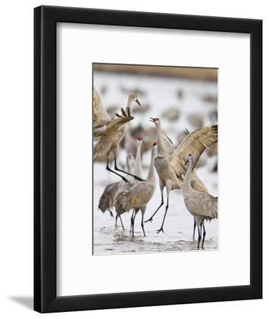Sandhill Cranes Dancing on the Platte River Near Kearney, Nebraska, USA