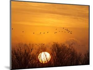 Sandhill Cranes Silhouetted Aginst Rising Sun, Leaving Platte River, Near Kearney, Nebraska, USA by Chuck Haney