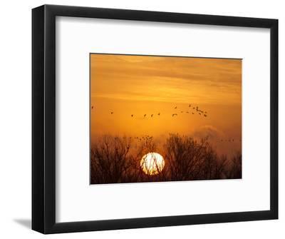 Sandhill Cranes Silhouetted Aginst Rising Sun, Leaving Platte River, Near Kearney, Nebraska, USA