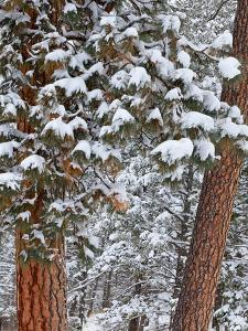 Snow Fills the Boughs of Ponderosa Pine Trees at Flathead Lake State Park, Montana, USA by Chuck Haney