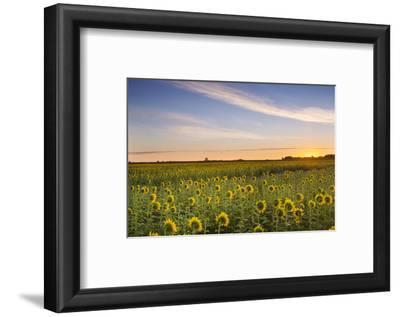 Sunflower Field in Morning Light in Michigan, North Dakota, USA