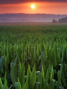 Sunrise over Field Corn, Hermann, Missouri, USA by Chuck Haney