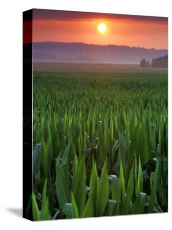 Sunrise over Field Corn, Hermann, Missouri, USA