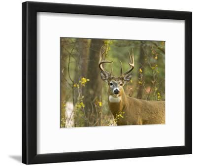 Whitetail Deer Buck in Whitefish, Montana, Usa