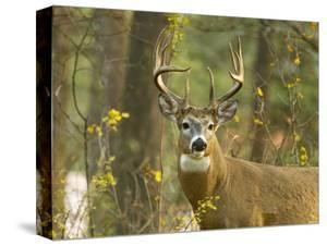Whitetail Deer Buck in Whitefish, Montana, Usa by Chuck Haney