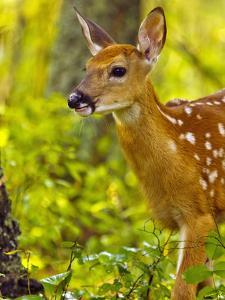 Whitetail Deer Fawn in Whitefish, Montana, Usa by Chuck Haney