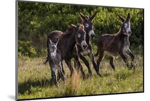 Wild Burros in Custer State Park, South Dakota, Usa by Chuck Haney