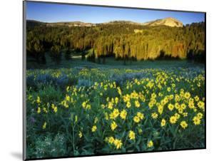 Wildflowers Near Lionshead Mountain, Gallatin National Forest, West Yellowstone, Montana, USA by Chuck Haney