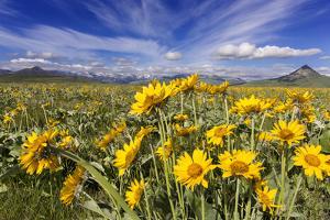 Wildflowers, Rocky Mountain Range, Augusta, Montana, Usa by Chuck Haney