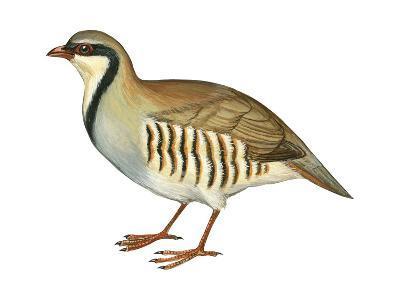Chukar, Partridge (Alectoris Chukar), Birds-Encyclopaedia Britannica-Art Print