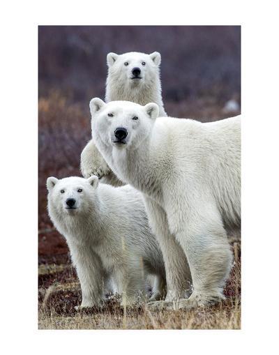 Churchill Polar Bears-Art Wolfe-Art Print