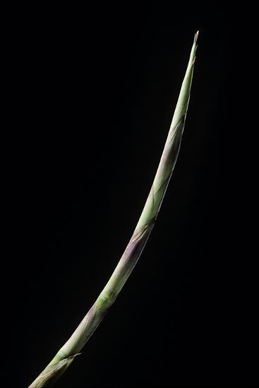Chusquea Culeou (Chilean Bamboo) - Shoot-Paul Starosta-Photographic Print