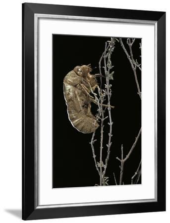 Cicada Exuvia-Paul Starosta-Framed Photographic Print