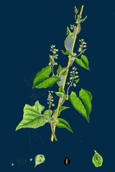 Cichorium Intybus; Wild Succory--Giclee Print