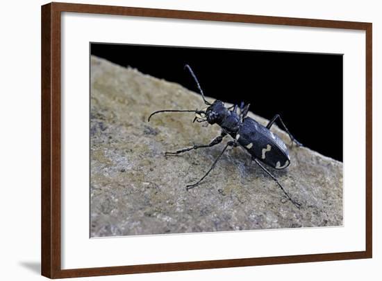 Cicindela Hybrida (Northern Dune Tiger Beetle)-Paul Starosta-Framed Photographic Print