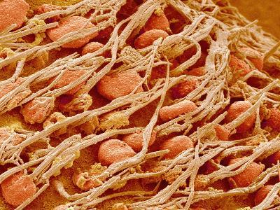 Cilia of the Inner Ear of a Rabbit-Micro Discovery-Photographic Print