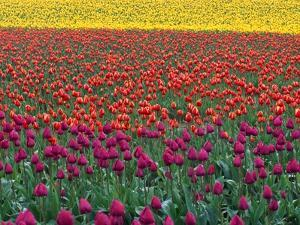 Colorful Tulip Field by Cindy Kassab