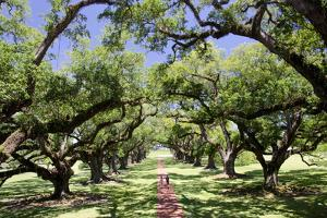 300-Year-Old Oak Trees, Vacherie, New Orleans, Louisiana, USA by Cindy Miller Hopkins