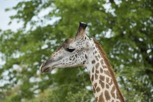Africa, Zambia, South Luangwa National Park, during green season. Thornicroft's giraffe. by Cindy Miller Hopkins
