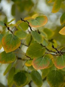 Aspen Leaves Turning Color, Vail, Colorado, USA by Cindy Miller Hopkins