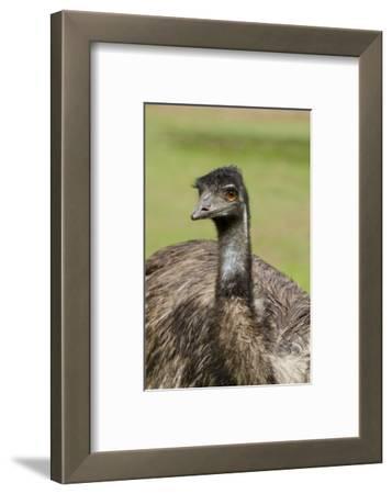 Australia, Adelaide. Cleland Wildlife Park. Large Flightless Emu