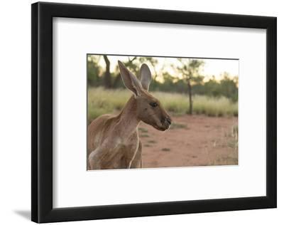Australia, Alice Springs. Adult Female Kangaroo in Open Field