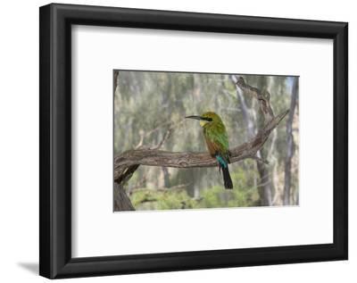 Australia, Alice Springs. Alice Springs Desert Park. Rainbow Bee-Eater